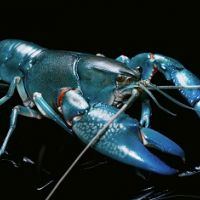 Depressed lobsters and the dividend yield trap